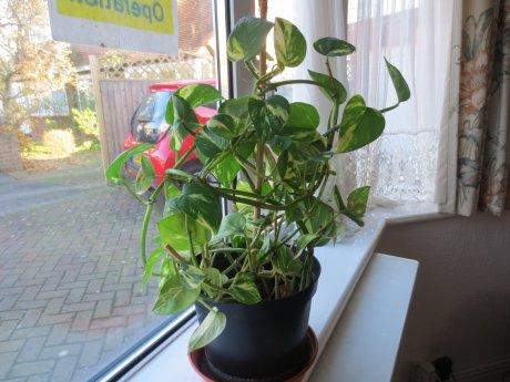 Indoor plants sale spider plants etc